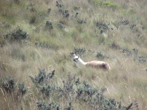 Wild lamas.