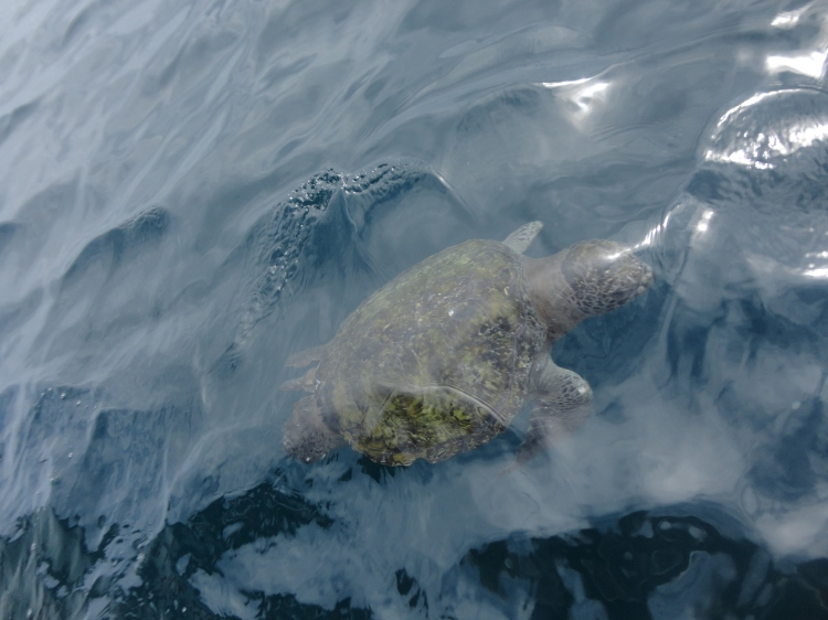Isla de la Plata: Green Turtles